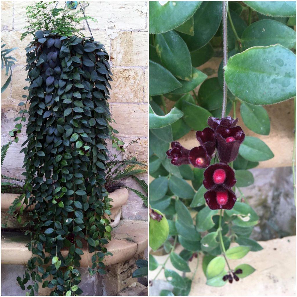 Rośliny w ogrodzie przy Palazzo Parisio w Naxar na Malcie