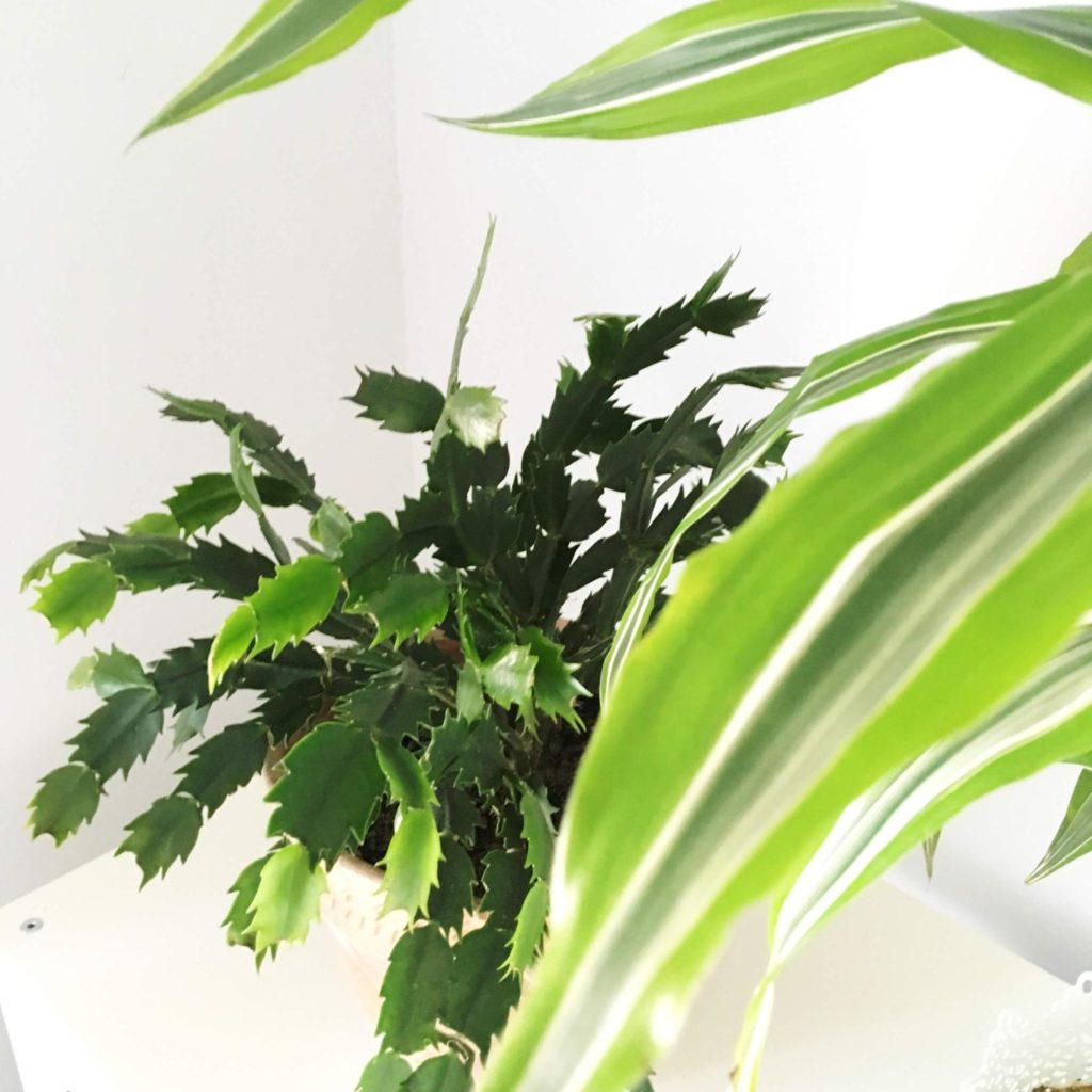 Zygokaktus (schlumbergera)