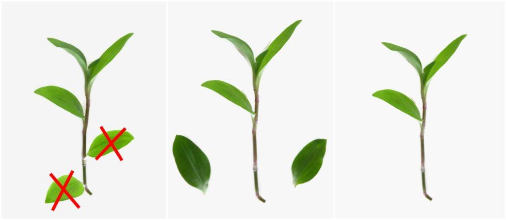 usuwanie dolnych liści z sadzonek trzykrotki.