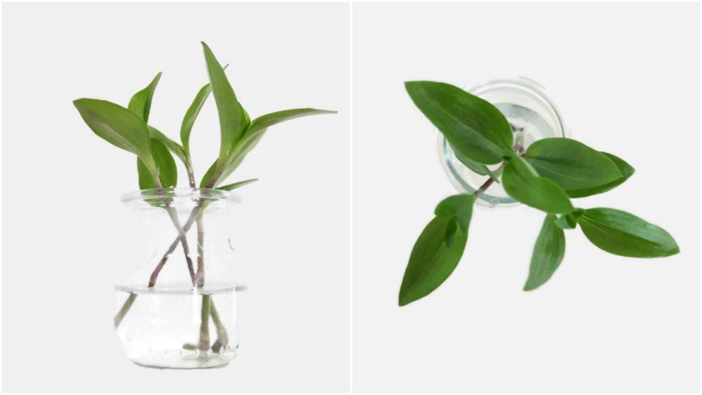 Ukorzenianie sadzonek trzykrotki w wodzie