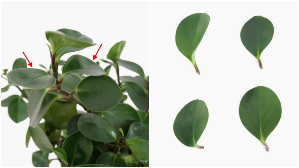 Pobieranie sadzonek liściowych peperomii