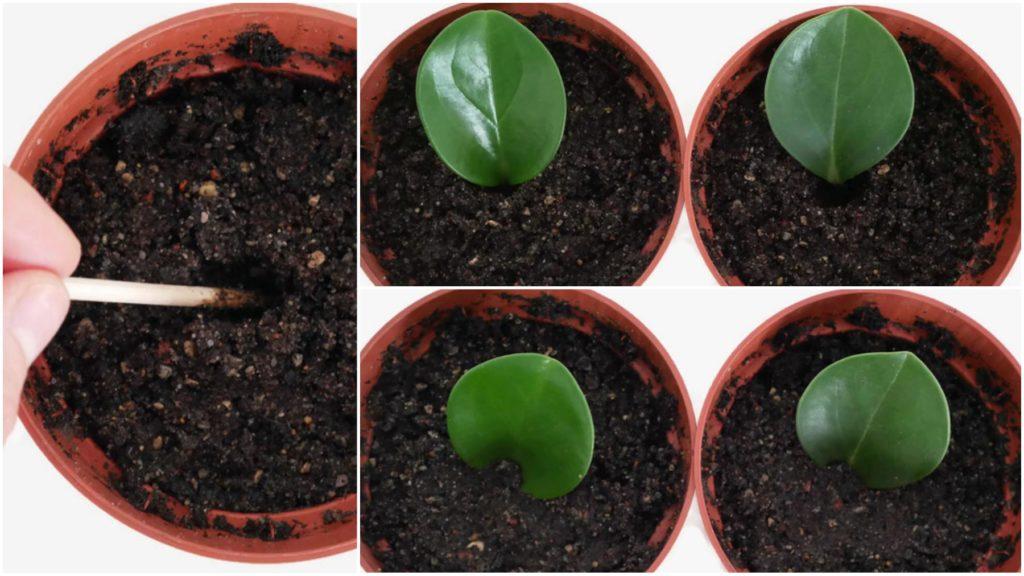 Ukorzenianie sadzonek liściowych peperomii