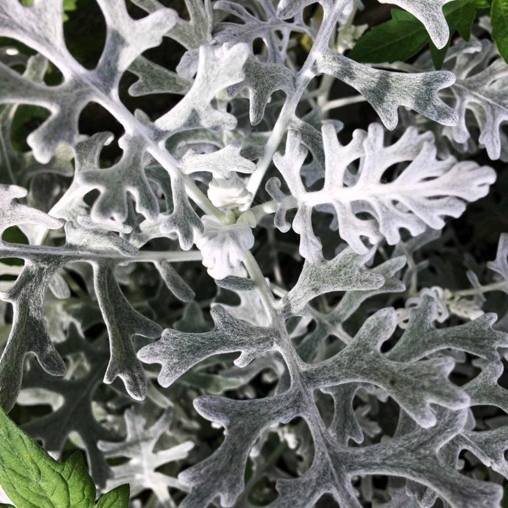 Liście starca popielnego są jasno stalowo szare. Taką barwę zawdzięczają gęsto rozmieszczonym na ich powierzchni włoskom.