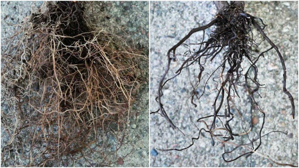 Porównanie korzeni lawendy. Po lewej system korzeniowy jest żywy, natomiast po prawej martwy.