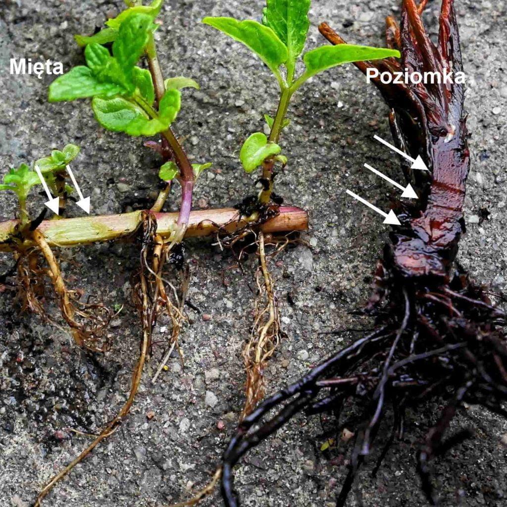 Ocena stanu pędów nadziemnych i korzeni w celu sprawdzenia czy roślina przeżyła zimę.