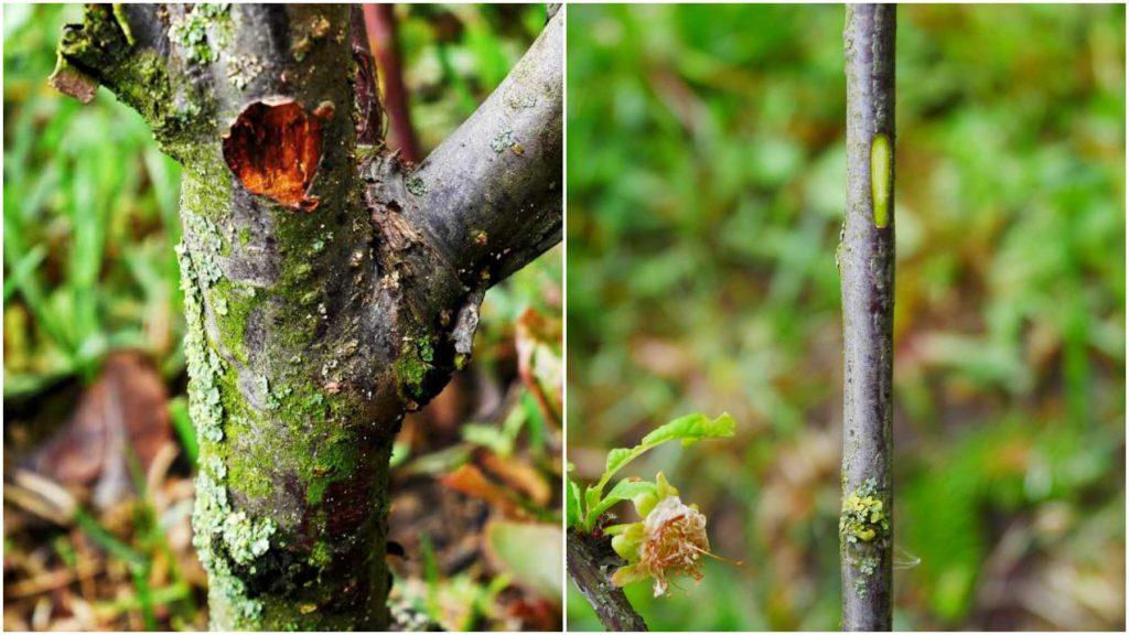 Sprawdzanie pędów migdałka trójklapowego za pomocą testu zadrapania. Po lewej - martwa gałąź, po prawej - żywa.
