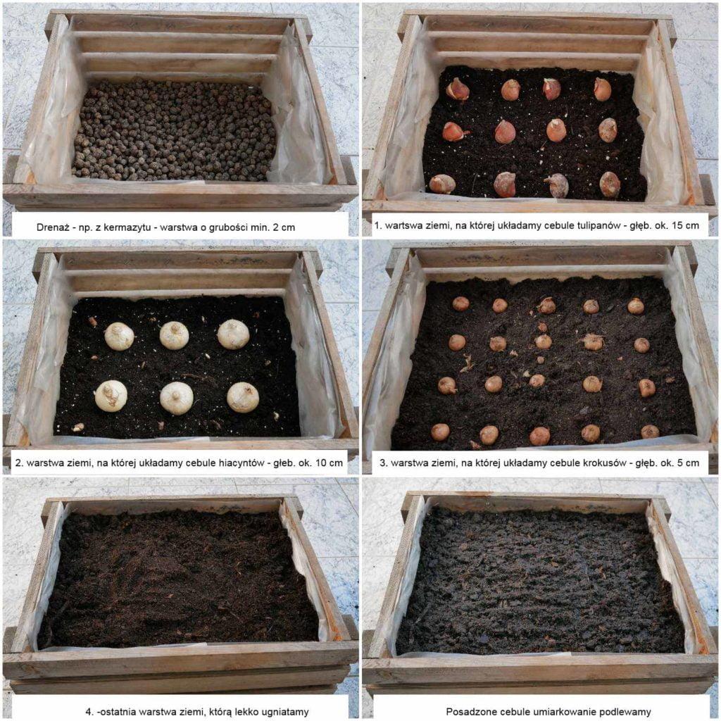 Warstwowe sadzenie roślin cebulowych w pojemnikach. Metoda na tzw. lasagne.