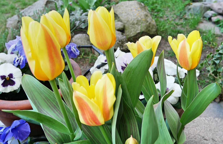 Kwitnace wiosną tulipany posadzone jesienią w doniczkach