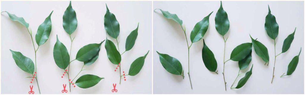 Usuwanie dolnych lisci z sadzonek pędowych fikusa benjamina