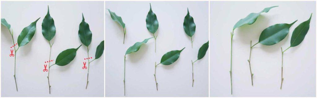 Usuwanie wierzchołków pędów z sadzonek pędowych fikusa benjamina.