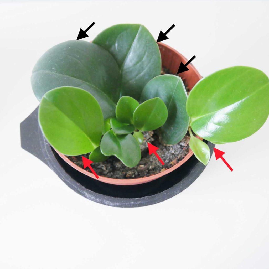 Ukorzenione sadzonki liściowe peperomii tępolistnej. Ze starych liści wyrosły nowe pędy z młodymi listkami.