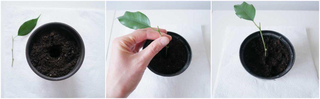 Ukorzenianie sadzonek pędowych fikusa benjamina w podłożu.