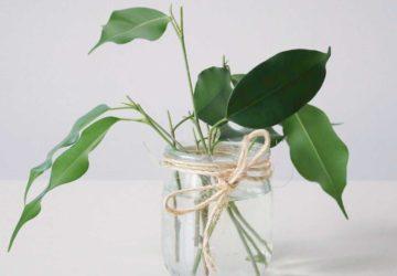 Rozmnażanie fikusa benjamina za pomocą sadzonek pędowych.