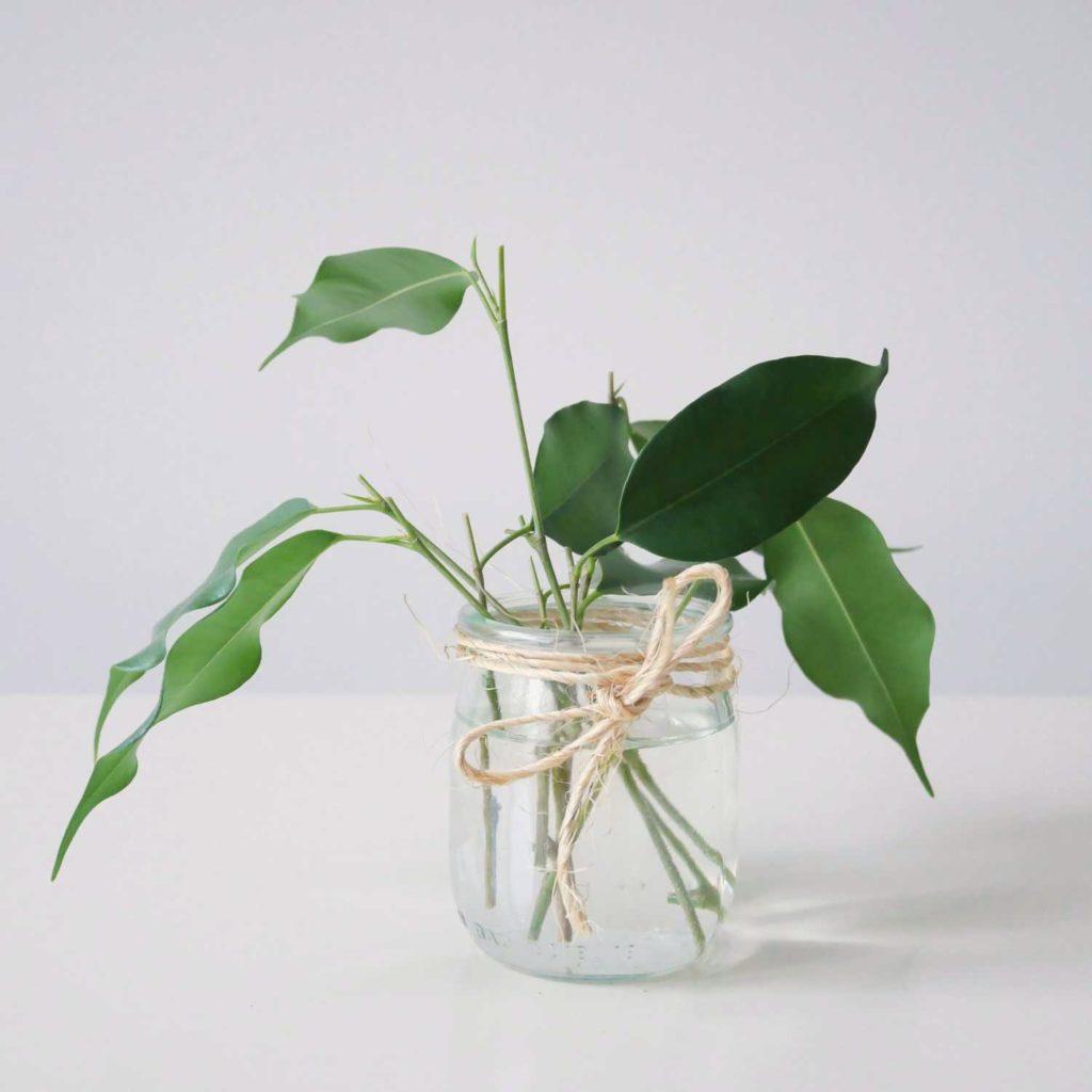 Ukorzenianie sadzonek pędowych fikusa benjamina w wodzie.