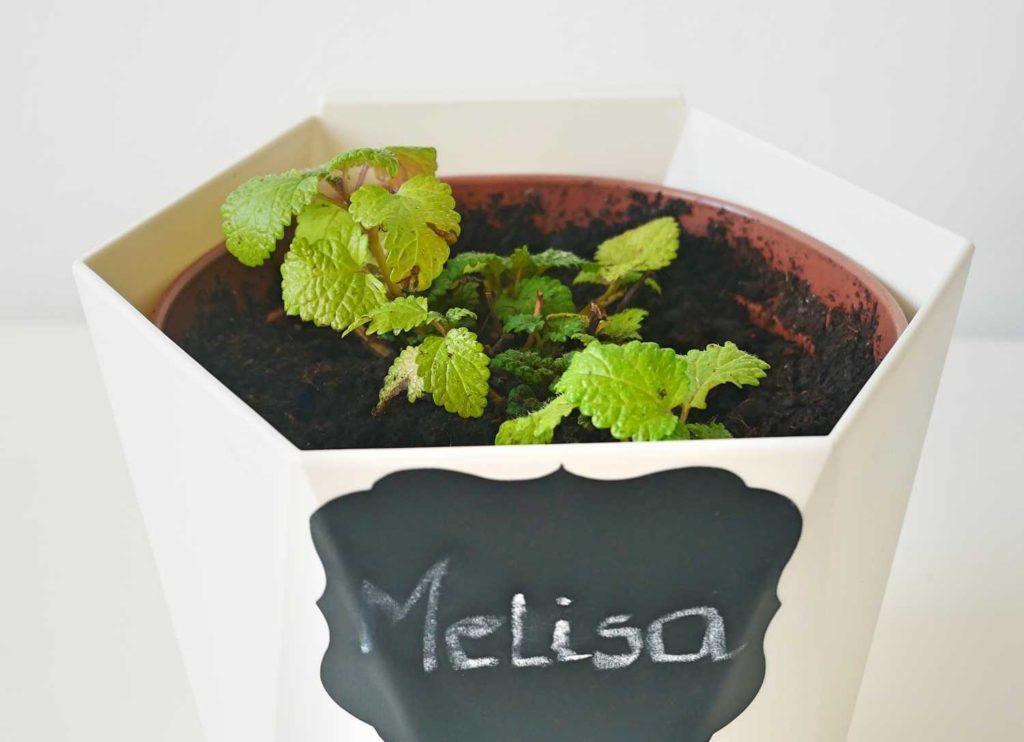 Melisa uprawiana w doniczce na kuchennym parapecie zimą.