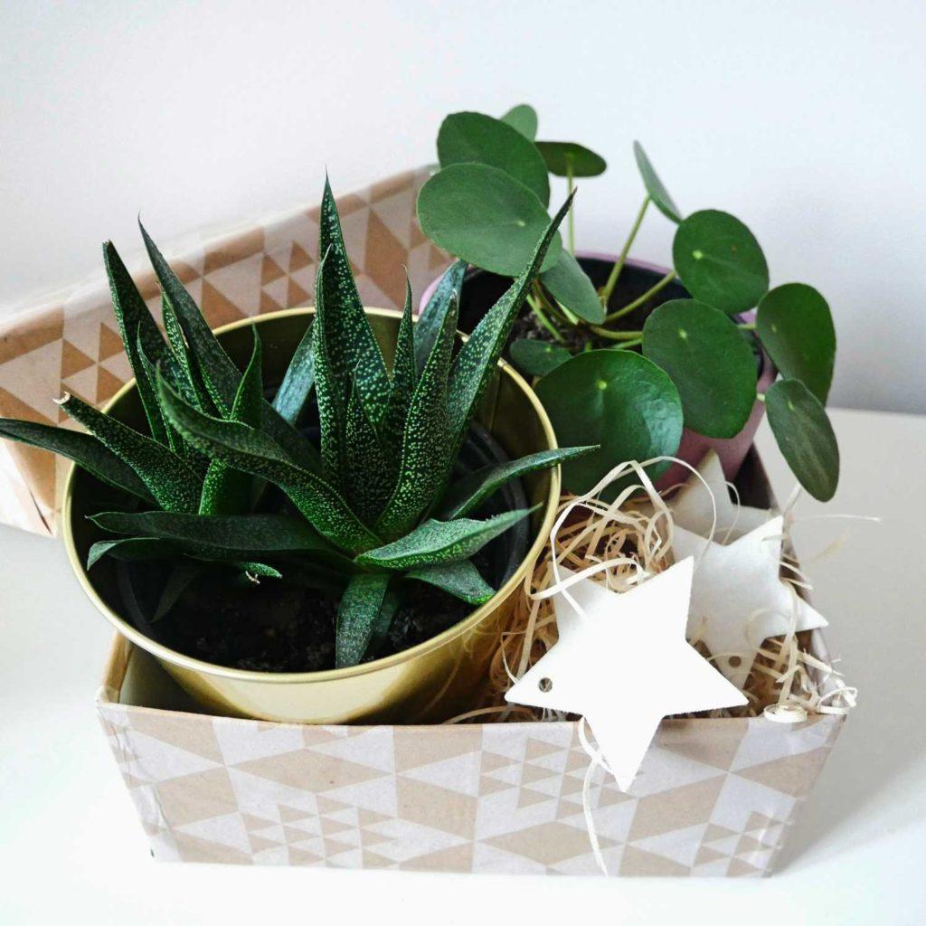 Własnoręcznie wyhodowane rośliny pokojowe to idealny prezent dla miłośnika roślin.