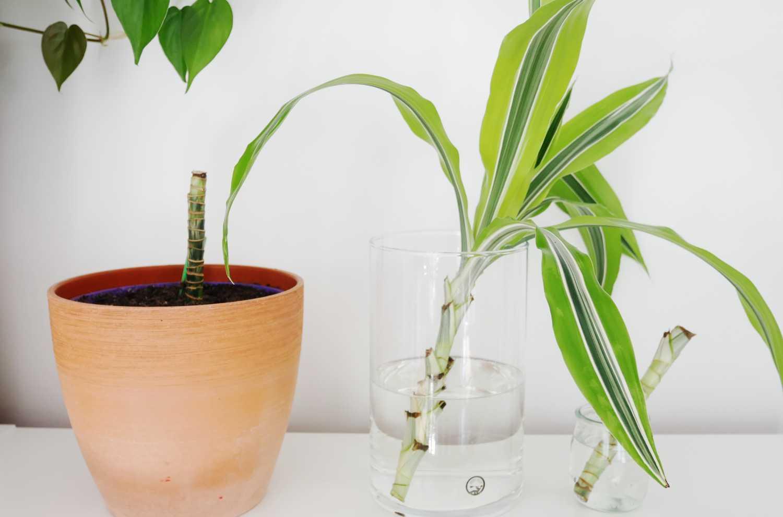 Rozmnażanie draceny wonnej (Dracaena fragrans) za pomocą sadzonek wierzchołkowych i pędowych.