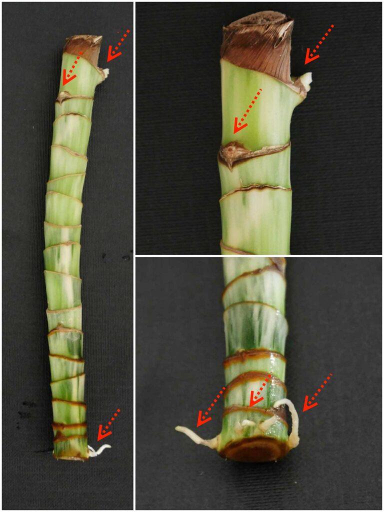 Czterotygodniowa sadzonka pędowa dracaena fragrans ukorzeniona w wodzie z widocznymi korzeniami i zawiązkami pędów.