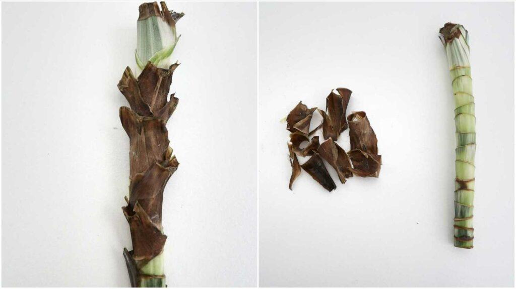 Usuwanie zaschniętych resztek liści z sadzonki pędowej draceny wonnej.