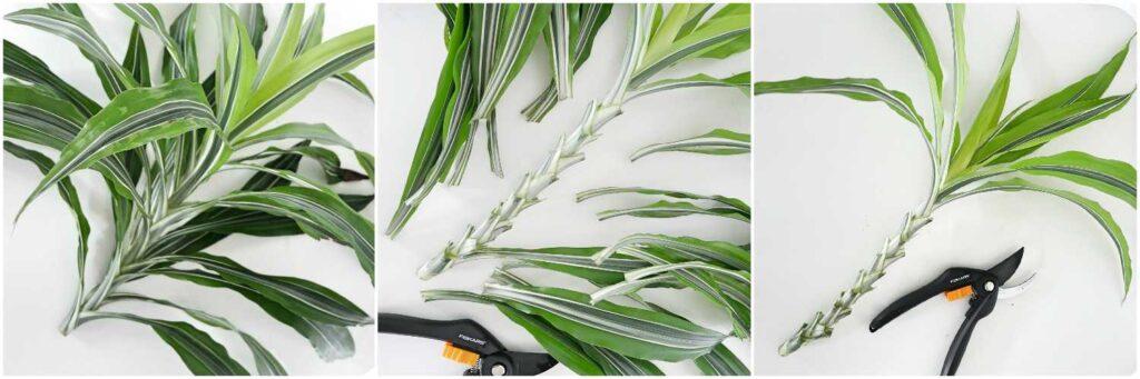 Rozmnażanie draceny wonnej - usuwanie dolnych liści z sadzonki wierzchołkowej przeznaczonej do ukorzeniania w wodzie.