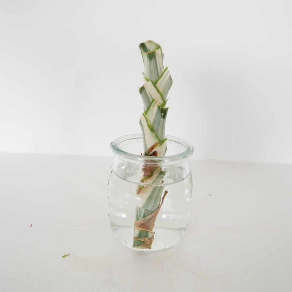 Ukorzenianie sadzonki pędowej dracaena fragrans w wodzie.
