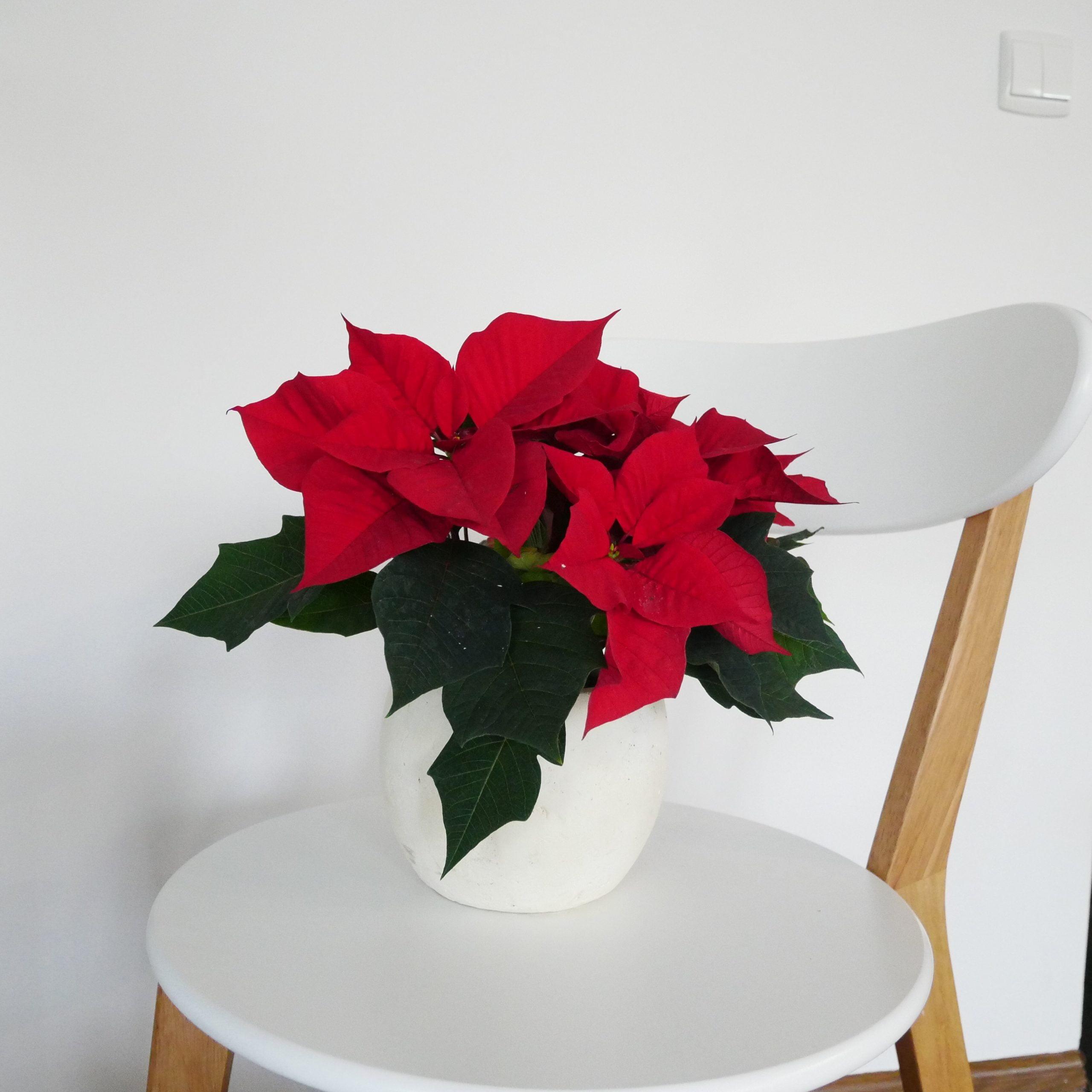 Gwiazda betlejemska nie jest tak silnie trującą rośliną, za jaką ją przez długi czas uważano.