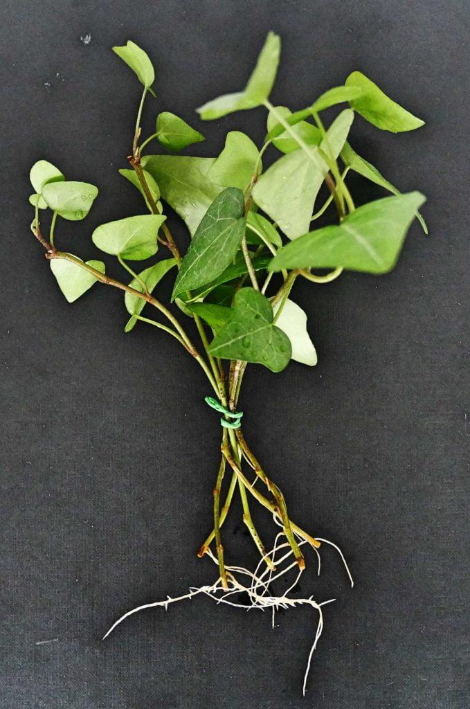 Sadzonki pędowe bluszczu z korzeniami, gotowe do posadzenia w podłożu.