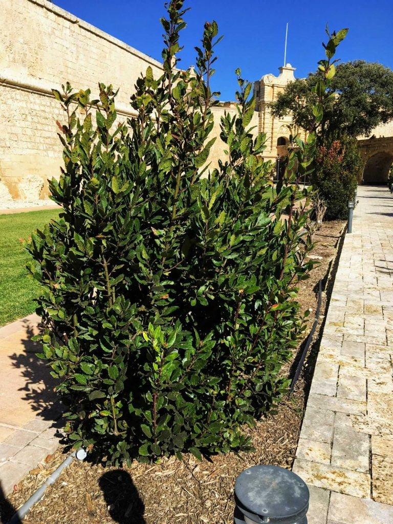 Okazały krzew wawrzynu szlachetnego rosnący w jednym z maltańskich ogrodów.