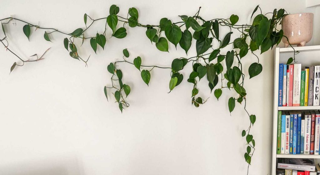Philodendron scandens rozwieszony na ścianie.