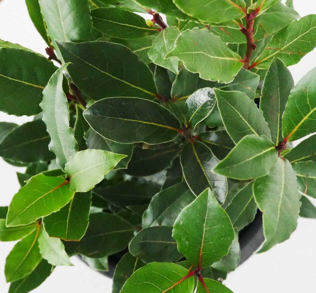 Zimozielone, skórzaste liście wawrzynu szlachetnego