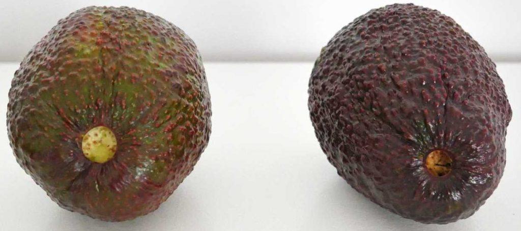 Niedojrzałe (po lewej) oraz dojrzałe (po prawej) awokado odmiany Hass.