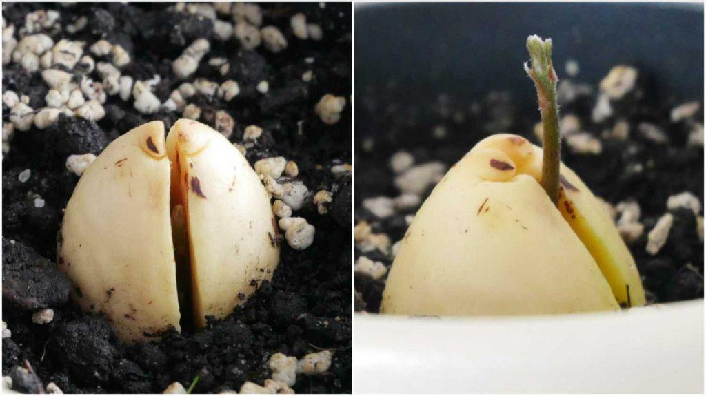 Młodziutki pęd wyrastający z pestki awokado.