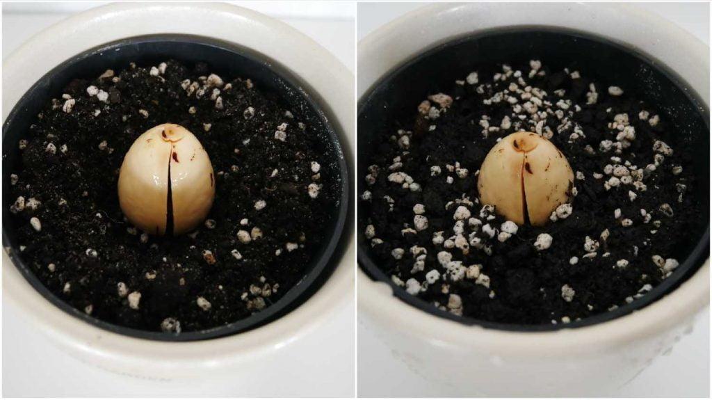 Skiełkowana pestka awokado posadzona do doniczki wypełnionej podłożem.