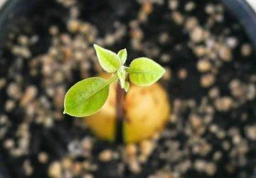 Młodziutkie drzewko awokado uprawiane z pestki.