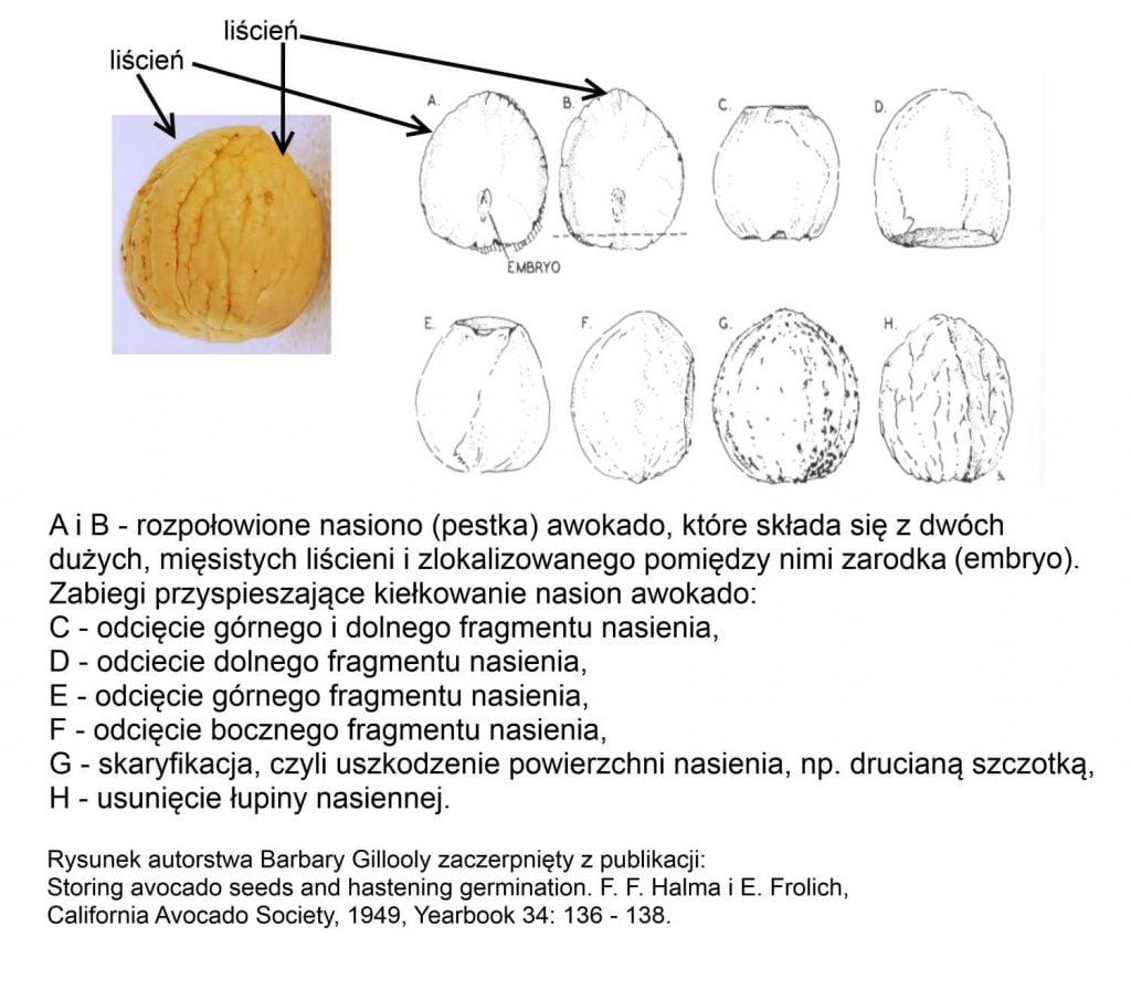 Rysunek przedstawiający budowę nasiona awokado oraz sposoby na przyspieszenie kiełkowania pestki awokado.