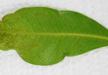 Spodnia strona liścia fikusa ginseng porażona przez wciornastki. Na liściu widoczne są wciornastki oraz uszkodzenia przez nie wywołane - zniekształcenia i brązowe plamy.