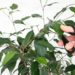 Cięcie roślin pokojowych